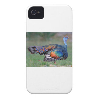 Ocellated Turkey in Guatemala iPhone 4 Case