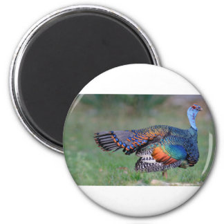 Ocellated Turkey in Guatemala Magnet