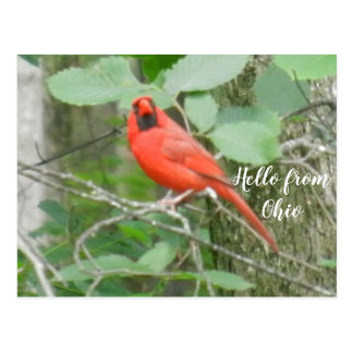 OHIO RED CARDINAL postcard