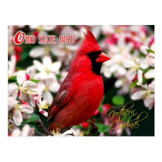 Ohio State Bird - Northern Cardinal Postcard
