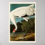 Oiseaux de John James Audubon de grue de huée de Poster