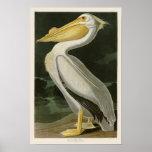 Oiseaux de John James Audubon de pélican blanc de Poster