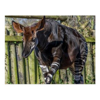 Okapi at the zoo postcard