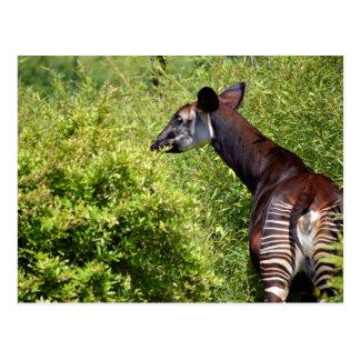 Okapi in the vegetation postcard