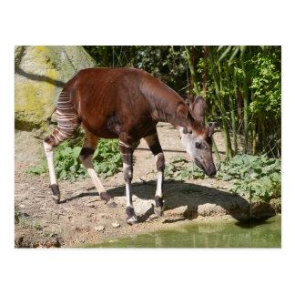 Okapi near pond postcard