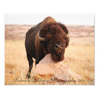 Oklahoma Bison, Rebecca Alsbury Photography 2011 Photo Print
