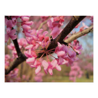 Oklahoma Redbud Blossoms II Print
