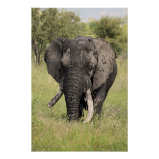 Old African elephant bull - broken tusk (Africa) Posters