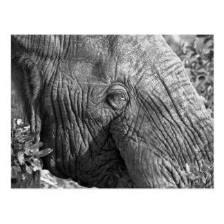 Old African Elephant Postcard