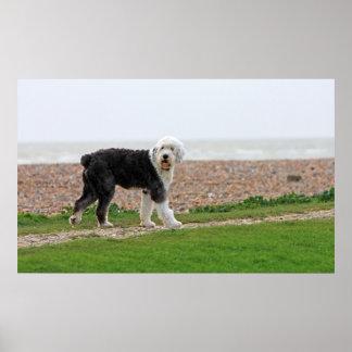 Old English Sheepdog dog poster, print, photo Poster