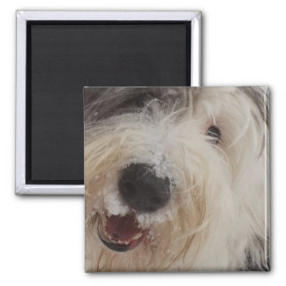 Old English Sheepdog Magnet - Snow Face