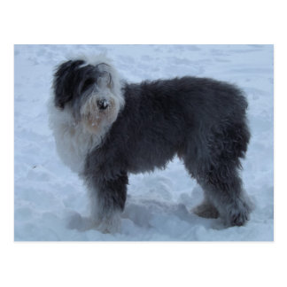 Old English SHeepdog Post Card - Snow Dog!