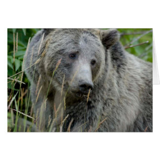 Old Grizzly Bear Greeting Cards