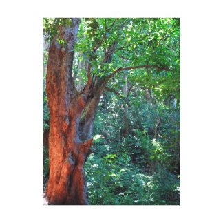 Old Mango Tree Canvas Print