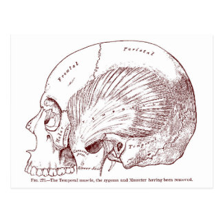 Old Medical Drawing Temporal Muscle Postcard