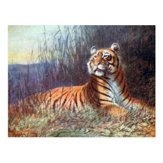 Old Postcard - Bengal Tiger