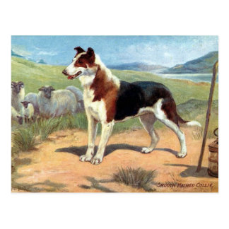 Old Postcard - Smooth Haired Collie
