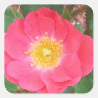 Old School Salmon colored rose Square Sticker