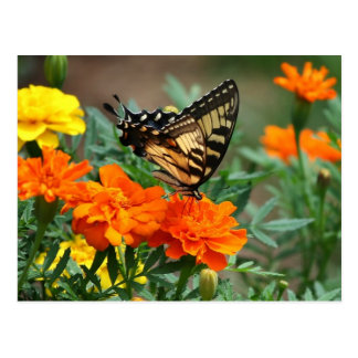 Old World Swallowtail Butterfly Papilio Machaon Postcard