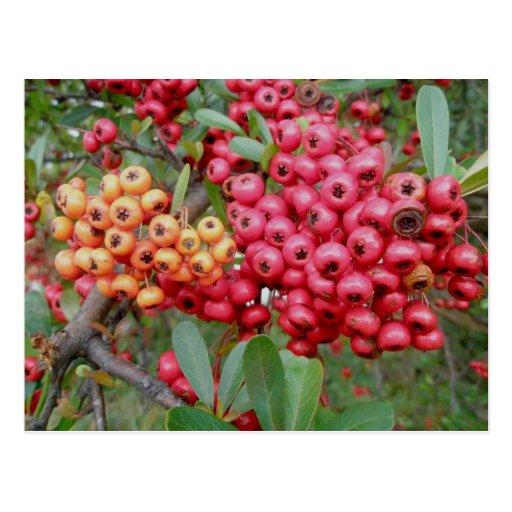 Oleander Berries December OBX Postcard