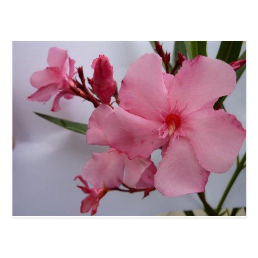 Oleander blooms pink postcard