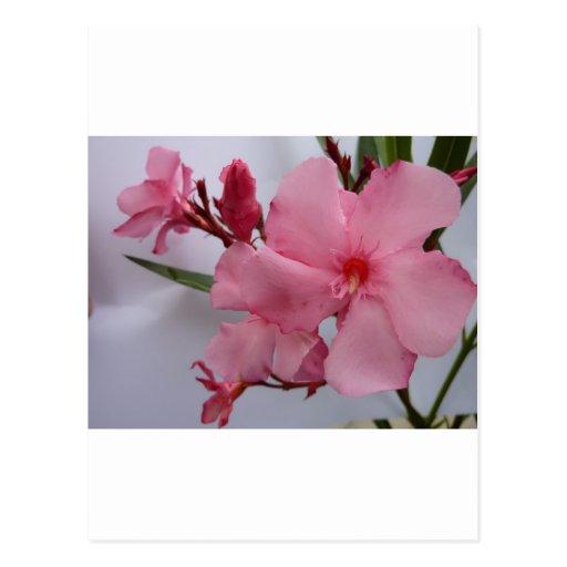 Oleander blooms pink post card