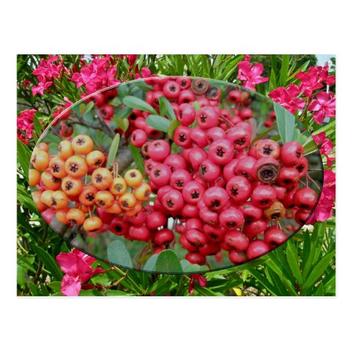 Oleander Blossoms & Berries Coordinating Items Postcards