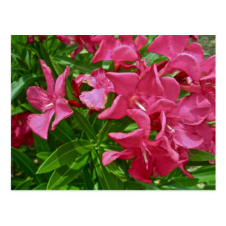 Oleander Blossoms & Berries Coordinating Items Postcard