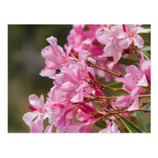 oleander in the garden postcard