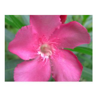 Oleander Pink Garden Post Cards