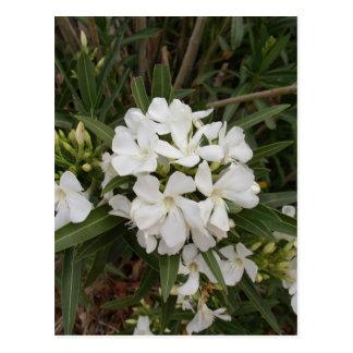 Oleander Post Cards