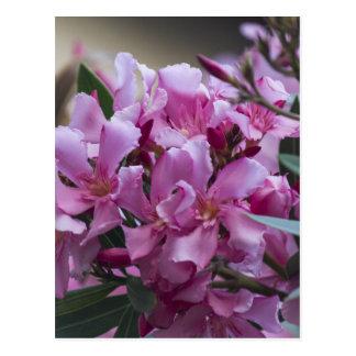 oleander postcard