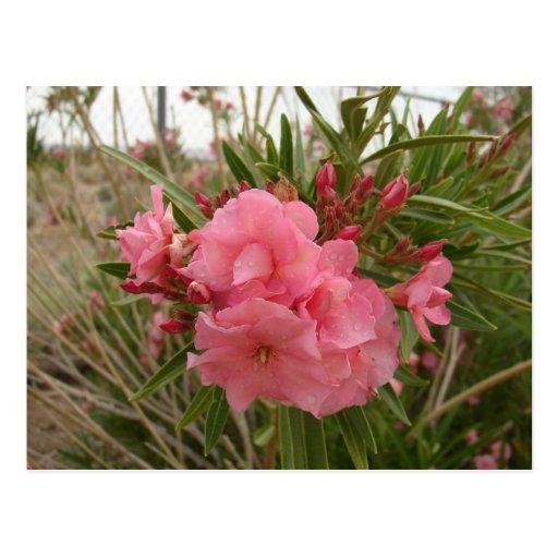 Oleander Post Card