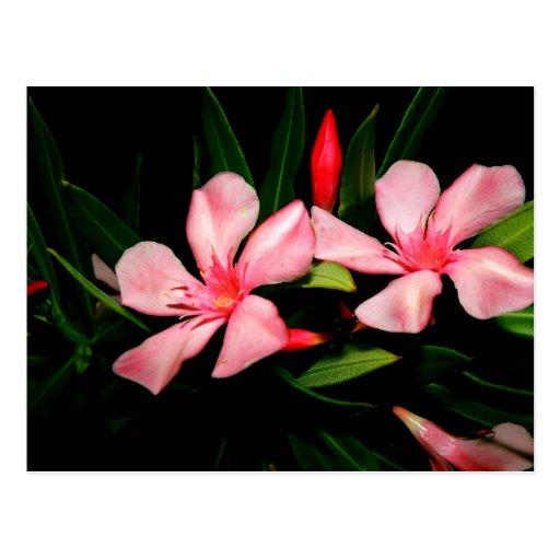 Oleander Postcards