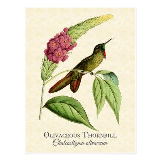Olivaceous Thornbill Hummingbird Vintage Art Postcard