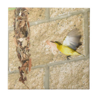 OLIVE BACKED SUNBIRD QUEENSLAND AUSTRALIA TILE