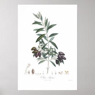 Olive,Olea europaea Print