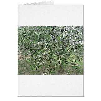 Olive tree branches with first buds Tuscany, Italy Card