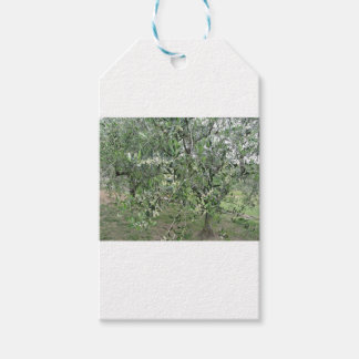 Olive tree branches with first buds Tuscany, Italy Gift Tags