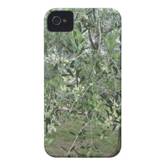 Olive tree branches with first buds Tuscany, Italy iPhone 4 Case