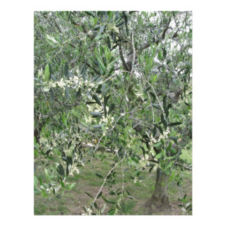 Olive tree branches with first buds Tuscany, Italy Letterhead