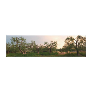 Olive tree grove at sunset canvas print