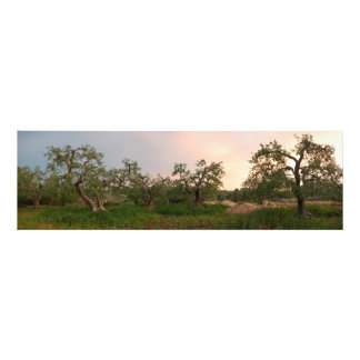 Olive tree grove at sunset photo print