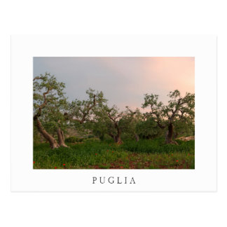 Olive tree grove at sunset white postcard