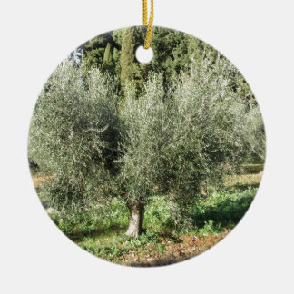 Olive trees in a sunny day. Tuscany, Italy Ceramic Ornament