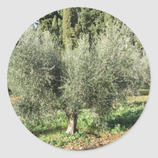 Olive trees in a sunny day. Tuscany, Italy Classic Round Sticker