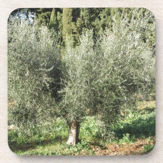 Olive trees in a sunny day. Tuscany, Italy Coaster