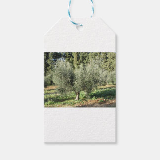 Olive trees in a sunny day. Tuscany, Italy Gift Tags