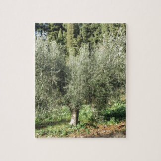 Olive trees in a sunny day. Tuscany, Italy Jigsaw Puzzle