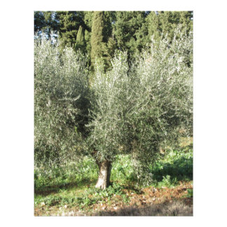 Olive trees in a sunny day. Tuscany, Italy Letterhead